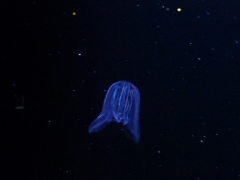 leuchtqualle