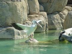 stolzer-pelikan