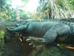 aligator_0
