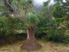 elefantenfussbaum