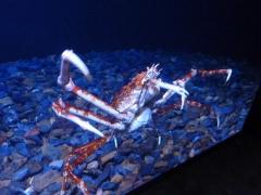 mega-krabbe