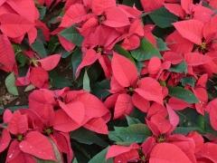 weihnachtsstern-auf-teneriffa-800px